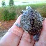 Grant Money Turtle Looking Toward Marsh